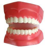 Mô hình hàm răng